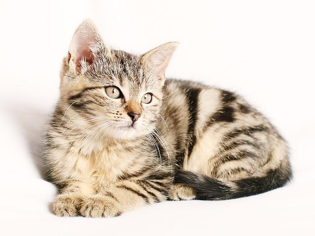 גידול חתולים